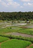 Campo do arroz em Ubud Bali Indonésia Fotografia de Stock