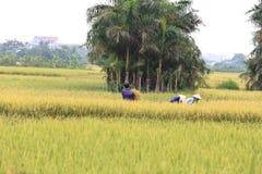 Campo do arroz na estação da colheita imagem de stock