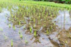 Campo do arroz na plantação em Ásia Foto de Stock Royalty Free