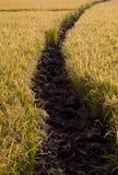 Campo do arroz 'paddy' Foto de Stock