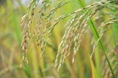 Campo do arroz 'paddy' Foto de Stock Royalty Free