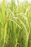 Campo do arroz 'paddy' Fotografia de Stock