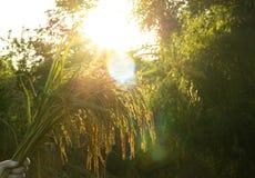 Campo do arroz 'paddy' do close-up borrão imagem de stock royalty free
