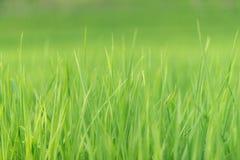 Campo do arroz 'paddy' com fundo do borrão Imagem de Stock Royalty Free
