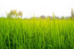 Campo do arroz 'paddy' em um fundo branco Imagens de Stock Royalty Free