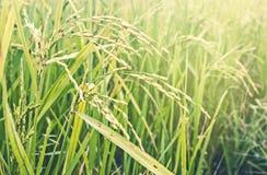 Campo do arroz 'paddy' no campo de Tailândia Imagens de Stock