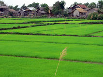 Campo do arroz perto do lago Inle Fotos de Stock Royalty Free