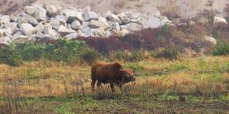 Campo do búfalo Foto de Stock Royalty Free