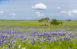 Campo do Bluebonnet em Ennis, Texas fotos de stock royalty free