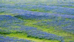 Campo do Bluebonnet em Texas Foto de Stock