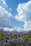 Campo do borage de Bloomimg Fotografia de Stock Royalty Free