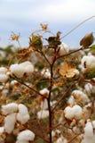Campo do botão do algodão Imagens de Stock