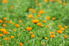 Campo do calendula Imagem de Stock Royalty Free