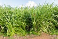 Campo do cana-de-açúcar Fotografia de Stock Royalty Free