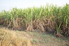 Campo do cana-de-açúcar Imagens de Stock Royalty Free