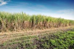 Campo do cana-de-açúcar Imagem de Stock Royalty Free