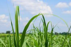 Campo do cana-de-açúcar Fotografia de Stock