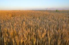Campo do centeio no por do sol Fotos de Stock