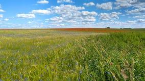Campo do cereal com flores e as papoilas azuis Fotografia de Stock Royalty Free