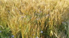 Campo do cereal no verão Foto de Stock Royalty Free