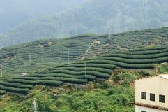 Campo do chá Imagem de Stock
