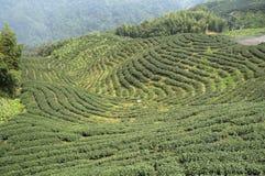 Campo do chá Foto de Stock