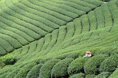 Campo do chá Fotos de Stock