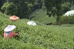 Campo do chá Imagem de Stock Royalty Free