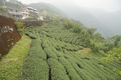 Campo do chá Foto de Stock Royalty Free