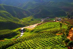 Campo do chá em Malásia Foto de Stock Royalty Free