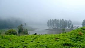 Campo do chá por um lago foto de stock royalty free