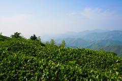 Campo do chá verde Fotografia de Stock