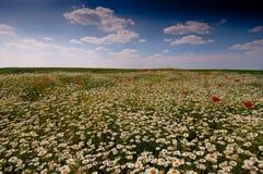 Campo do chamomilla do Matricaria da camomila selvagem Fotografia de Stock Royalty Free