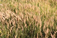 Campo do close-up amarelo seco da grama da pena Curvaturas da grama sob o vento fotos de stock