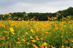 Campo do Coreopsis fotos de stock