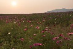 Campo do cosmos com por do sol Imagem de Stock Royalty Free