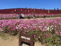 Campo do cosmos no parque de Hitachi imagens de stock