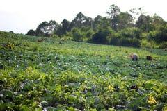 Campo do crescimento de cabbage Imagem de Stock