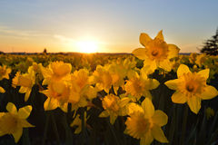 Por do sol do campo do Daffodil Imagem de Stock