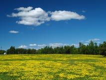 Campo do dente-de-leão e céu azul Imagem de Stock Royalty Free