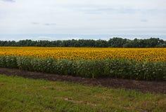Campo do fazendeiro de um girassol contra um céu azul Fotos de Stock Royalty Free