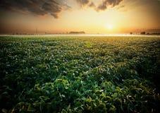 Campo do feijão de soja Fotografia de Stock