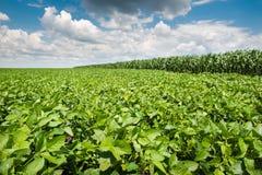 Campo do feijão de soja Imagem de Stock Royalty Free