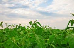 Campo do feijão de soja Fotografia de Stock Royalty Free