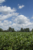 Campo do feijão de soja Foto de Stock