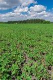 Campo do feijão de soja no verão Imagem de Stock