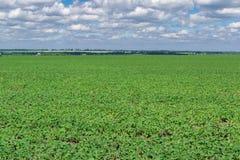 Campo do feijão de soja no verão Foto de Stock Royalty Free