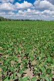 Campo do feijão de soja no verão Foto de Stock
