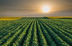 Campo do feijão de soja Imagem de Stock