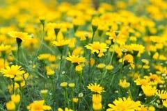Campo do fundo amarelo bonito da margarida Fotos de Stock Royalty Free